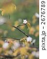 ヤマザクラ 山桜 花の写真 2676789