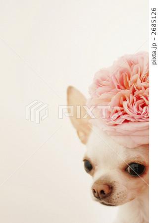 バラの花とチワワ 2685126