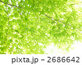 陽射し 緑の葉 青モミジの写真 2686642