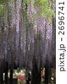 ふじ 藤の花 ノダフジの写真 2696741