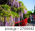 藤 藤棚 藤の花の写真 2700042