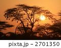 ハタオリドリの巣が下がるアカシアの木と朝陽 2701350