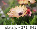 オレンジ色のオステオスペルマム 2714641