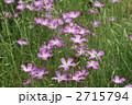 麦仙翁 ムギセンノウ の花が満開です 2715794