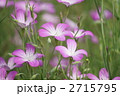 麦仙翁 ムギセンノウ の花が満開です 2715795