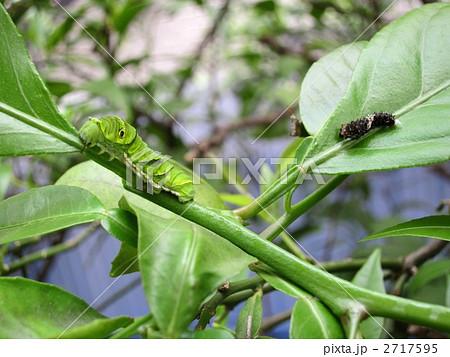 アゲハ蝶の幼虫 2717595