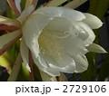 ゲッカビジン 月下美人 花の写真 2729106