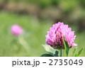 赤クローバー 紫詰草 ムラサキツメクサの写真 2735049