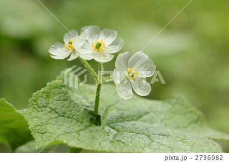 雨に濡れたサンカヨウの花です。 2736982