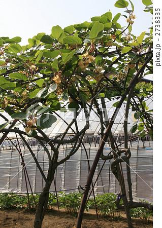 キウイフルーツの花とオスの木メスの木 2738335