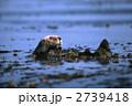 ジャイアントケルプ モントレー湾 ラッコ 2739418
