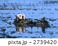 ラッコ 海藻 ジャイアントケルプ 2739420