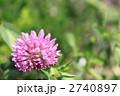 ムラサキツメクサ 紫詰草 赤詰草の写真 2740897