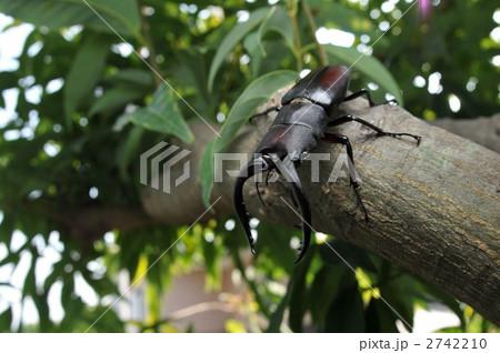 庭に飛んで来たノコギリクワガタの写真素材 [2742210] - PIXTA