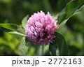 赤クローバー 紫詰草 ムラサキツメクサの写真 2772163