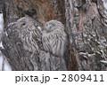 梟 フクロウ ふくろうの写真 2809411