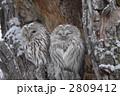 梟 エゾフクロウ フクロウの写真 2809412