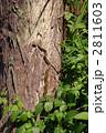 蛇 シマヘビ 縞蛇の写真 2811603