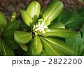 扉の木・トベラの葉と花 2822200