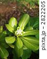 扉の木・トベラの葉と花 2822205
