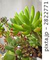 セダム 多肉植物 観葉植物の写真 2822771