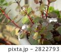 多肉植物 草葉 ミセバヤの写真 2822793