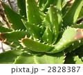 アロエ 多肉植物 サボテンの写真 2828387