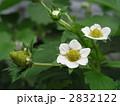 イチゴの花 2832122