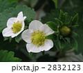 いちごの白い花 2832123