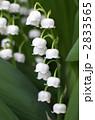 すずらん スズラン 花の写真 2833565