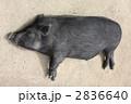 黒豚 豚 動物の写真 2836640