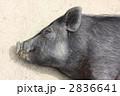黒豚 豚 動物の写真 2836641