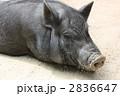 黒豚 豚 動物の写真 2836647