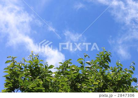 写真素材: 青空に映える柿若葉