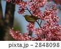 メジロ オカメザクラ 野鳥の写真 2848098