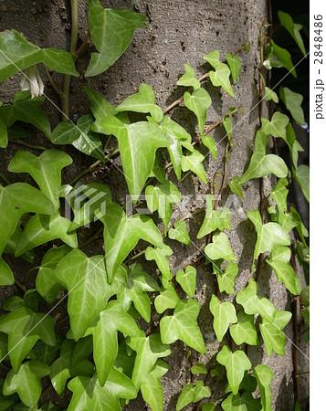 蔦 植物 つるの写真・イラスト素材              1ページ目