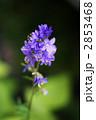 ハナシノブ はなしのぶ 花忍の写真 2853468