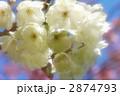 鬱金桜 2874793
