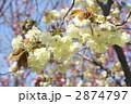 鬱金桜 2874797