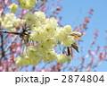 鬱金桜 2874804