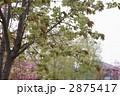御衣黄桜 2875417