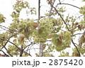 御衣黄桜 2875420