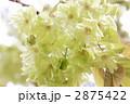 御衣黄桜 2875422