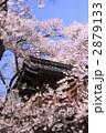 高遠城 問屋門の桜 2879133