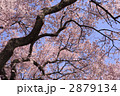 高遠城の桜 2879134