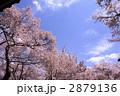 高遠城 桜雲橋の桜 2879136