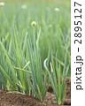 ナガネギ畑 2895127