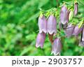 ホタルブクロ 蛍袋 花の写真 2903757