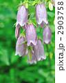 ホタルブクロ 蛍袋 花の写真 2903758