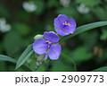 紫大露草 2909773